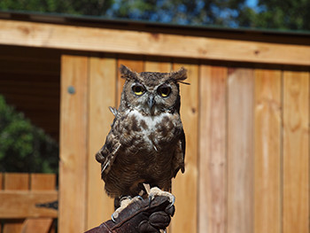 Wildlife Revaled : owls, falcons, hawks, and other raptors